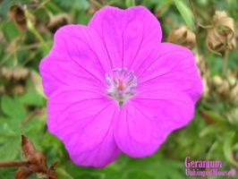 Geranium by UnhingedMouse0