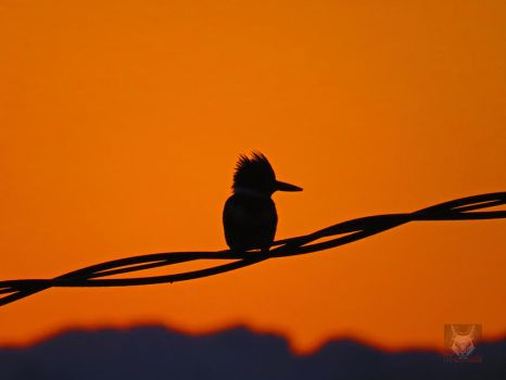 Silhouette of Kingfisher by wolfwings1