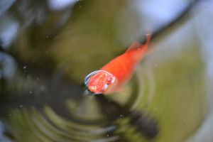 Goldfish 2 by cendredelune