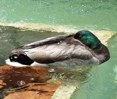 Duck in capital fountain by Fluff-E-Kitty
