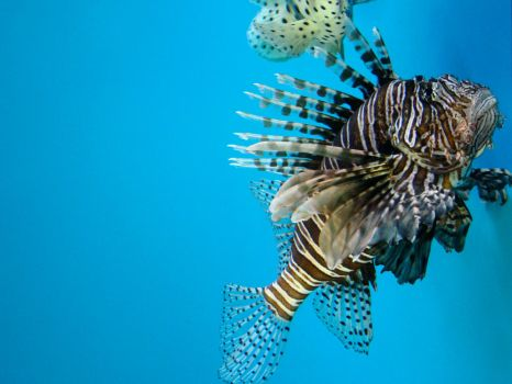 Lionfish Wallpaper by Armarant
