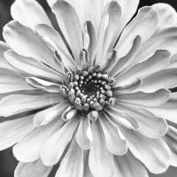 bw zinnia by nprkr