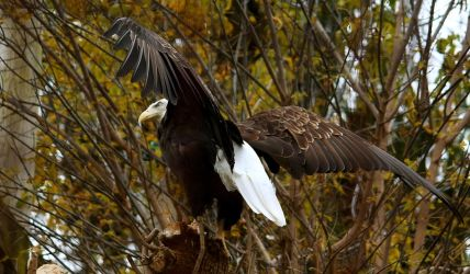 Bald Eagle Stock 5: Wings by HOTNStock