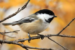 Black Capped Chickadee by sgt-slaughter
