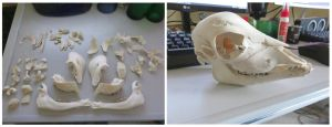 Fetal Calf Skull Before and After by Jewel-Wing