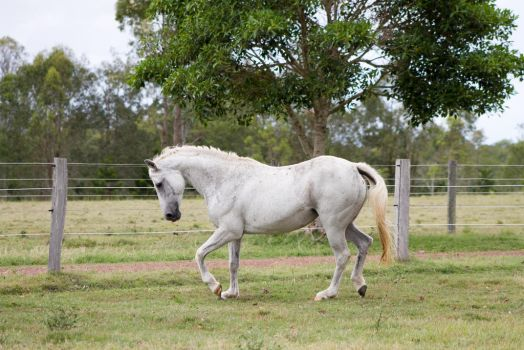 Dn white pony little trot neck arched side view by Chunga-Stock