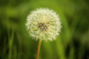 dandelion / blowball by LoveForDetails