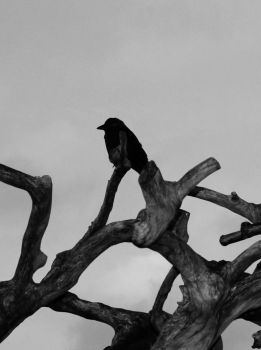 Black Bird by Caillean-Photography