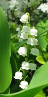 Lily of the Valley by tsunami-umi
