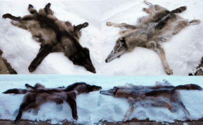 Very Special Wolves by Zhon