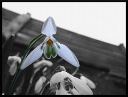 A double Snowdrop in Spring by furiousbullet