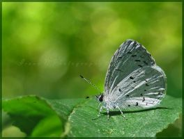 'Celastrina' by Irena-N-Photography