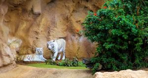 Great animals white tiger. by KariLiimatainen
