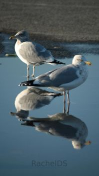 Seagull Reflection 2 by RachelDS