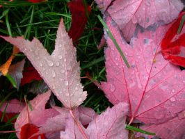 Red Leaf by numapompilius