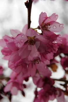 Cherry Blossoms 2 by xDeathKissedx