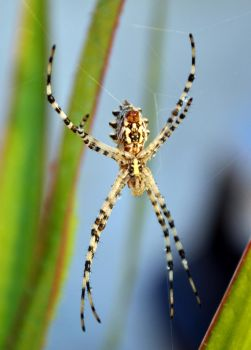Argiope Spider by Poolbandit