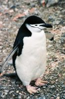 Chinstrap Penguin by Serendith