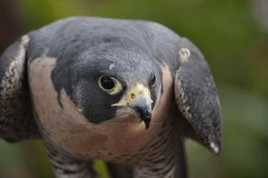 Peregrine falcon by night-is-my-day
