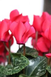 Cyclamen  by Lilithaya