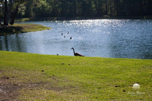 Geese at the Lakeside 7 by meunierjj