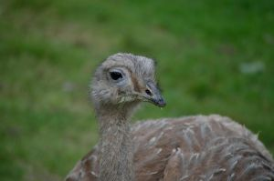 YOUNG OSTRICH by major-holdups