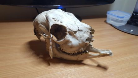 Roe Deer Skull (For Sale or Trade) by wingedwolf94