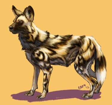 African Wild Dog by moongate