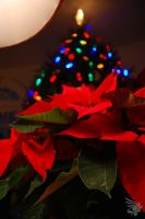 Poinsettia by calger459