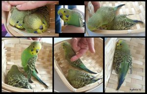 Budgie-babies 8 by Kytheira