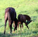 Mare and Foal 26 by MountainViewStock