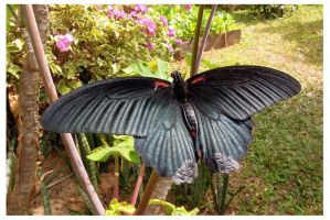 Butterfly 73 (Great Mormon) by kiew1