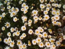 Daisy Dasiy Daisy by unlikemonday