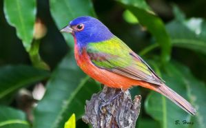 Painted Bunting by Grouper