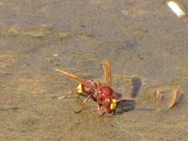 Oriental hornet (Front) by Faunamelitensis
