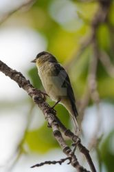 Lesser Goldfinch by Lehmniscate