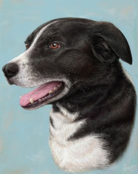 Border Collie by joeshawcross