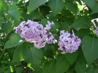 Our Lilacs by ZIM402