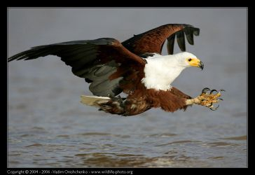 African Fish Eagle by invisiblewl