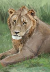Portrait of a teenage lion by kjt