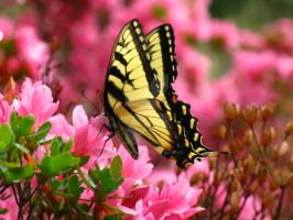Butterfly on a pink bush by flutteringonby