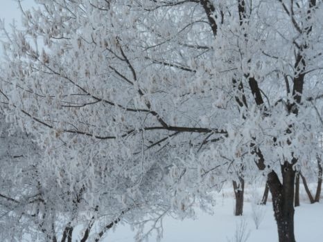 Trees with frost by GraceRene
