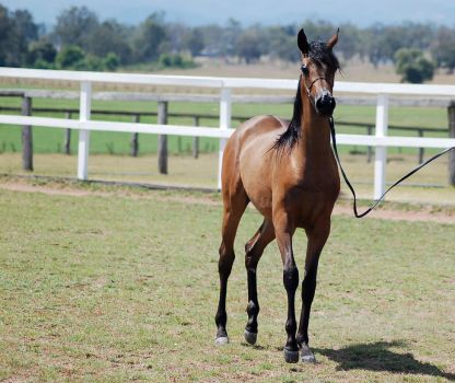 GE arab filly bay trot front on by Chunga-Stock