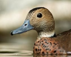 Ring Teal Portrait by papatheo