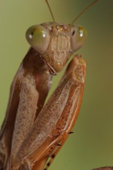 praying mantis portrait by bugalirious-STOCK