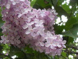 Lilacs growing high up by blackroselover