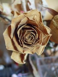 Dry Rose by whynotastock