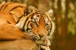 47 Tiger staring into you by Chunga-Stock