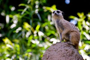Suricate Search by Macropus-Rufus