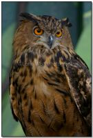 Wise Old Owl by LoneWolfPhotography